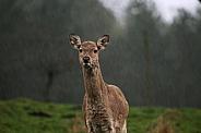 Female Red 'Rain' Deer