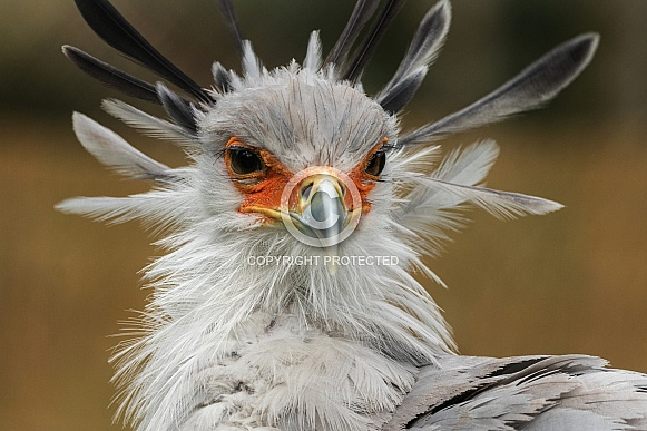 secretary Bird Close up