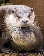 Eurasian otter, adult and kit