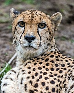 cheetah portrait 2