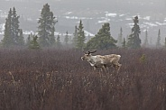 Caribou or Reindeer in Alaska