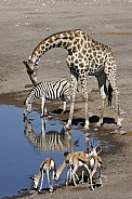 Giraffe - Zebra - Springbok at a waterhole