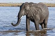 African Elephant - Chobe River - Botswana