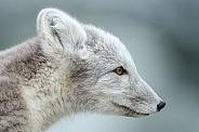 Portrait Arctic fox