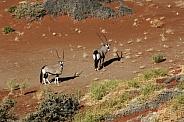 Gemsbok - Namib Desert