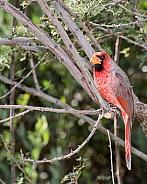 Desert Cardinal (Male)