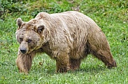 Syrian Bown Bear