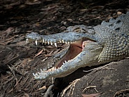 Saltwater Crocodile on Land with Open Mouth