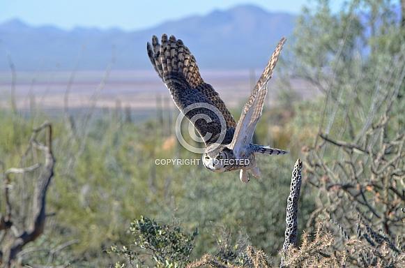 Great-Horned Owl in Flight