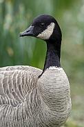 Canada Goose - (Branta canadensis)