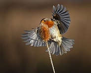 A Robin and a Teasel