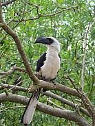 Von der Decken's Hornbill (female)