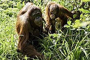Mother and Daughter Bornean Orangutan