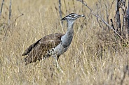 Kori Bustard (Ardeotis kori) - Botswana