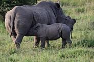 Rhino with calf drinking