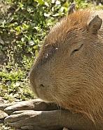 capybara head