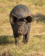 Rare Large Black Pig Gilt Running