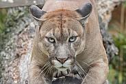 Puma / Mountain Lion / Cougar