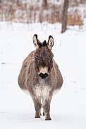 Snow day for a donkey
