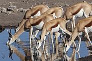 Springbok antelopes - Etosha - Namibia