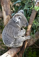 Koala bear sitting in a tree