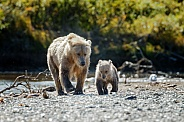 Grizzly female and her cub
