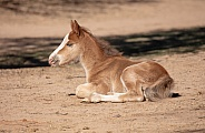 Baby horse resting in the dirt
