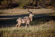 Kudu antelope - Okavango Delta - Botswana