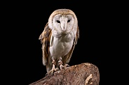 Barn Owl Full Body Black Background