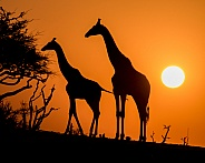 Two Giraffe Silhouettes at Sunset