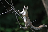 American Red Squirrel or Pine Squirrel