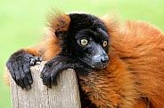 Red Lemur (Varecia rubra)