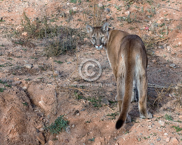 Mountain Lion - Young Male