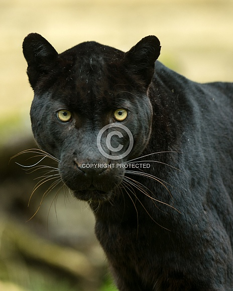 black Leopard 3