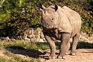 Black Rhino Full Body