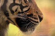 Sumatran Tiger Chin Close Up