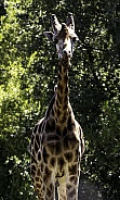 Giraffe facing forward