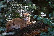 Lynx sitting on a log