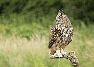 European Eagle Owl Perched