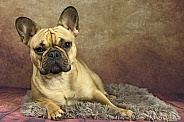 Fawn French Bulldog Lying Down Resting