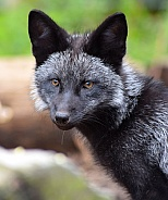 Young Silver Fox