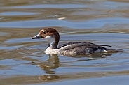 Smew (female)