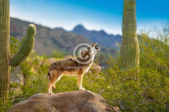 Coyote on Rock Howling