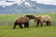 Alaska Peninsula Brown Bear Courtship