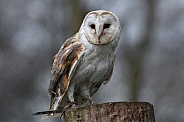 Barn Owl On Tree Stump Full Body