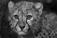 Cheetah Cub in Black and White