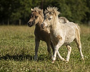 American Miniature Horse Foals