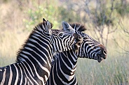 Two male Burchell's Zebra as seen in the Kruger National Park