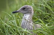 Juvenile Herring Gull - (Larus argentatus)