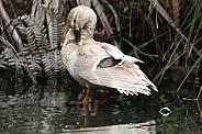Mallard X Domestic Duck